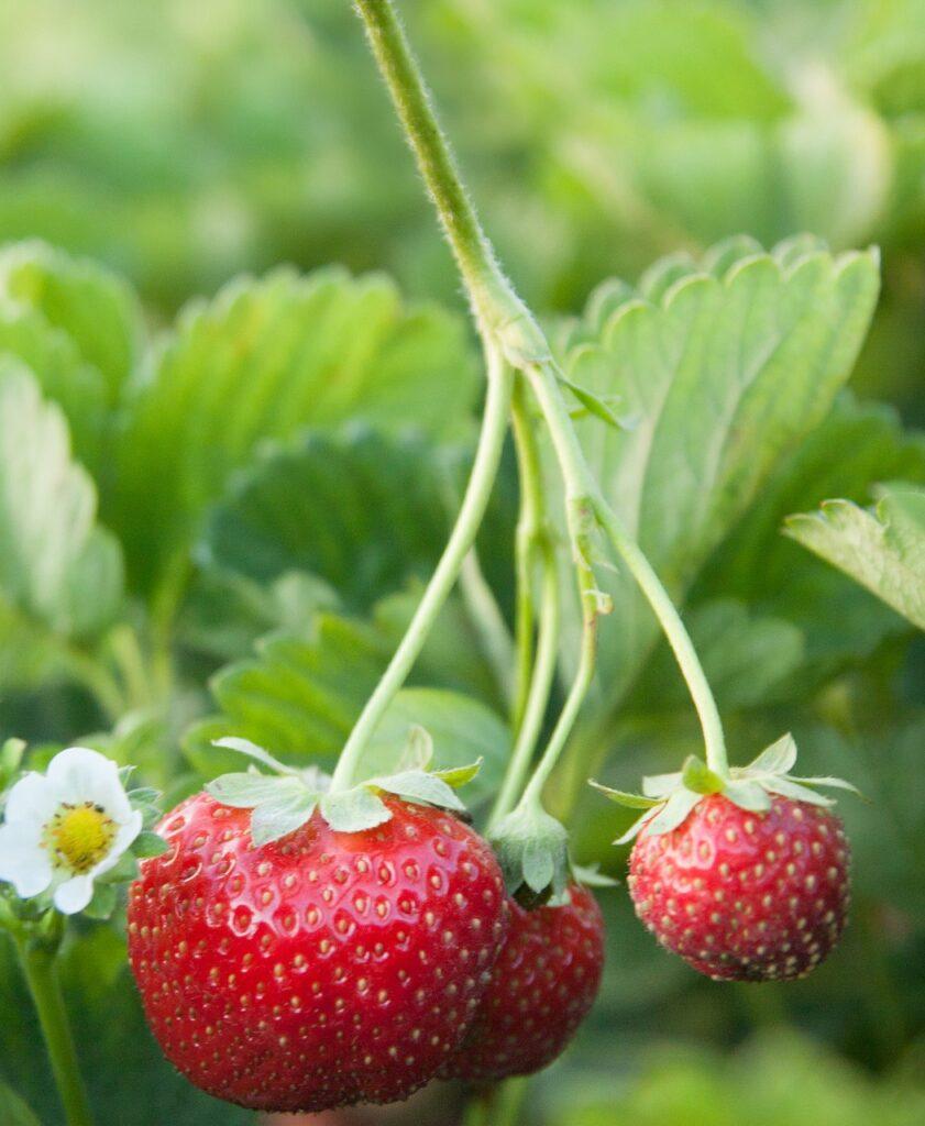 plantación de fresas en Huelva